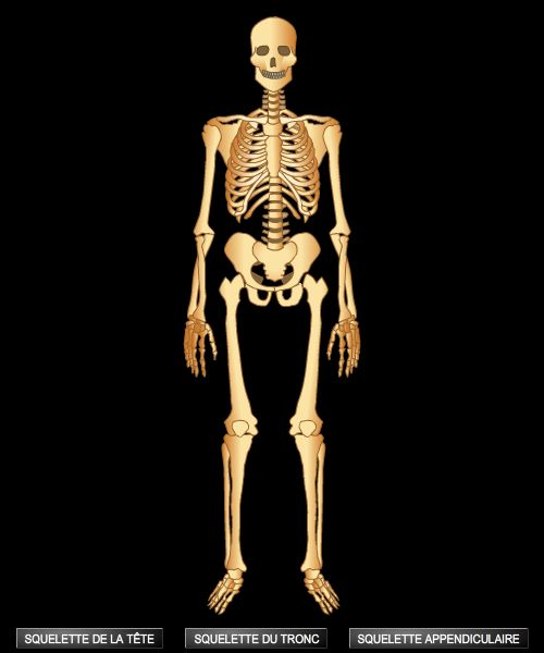 Encyclop die larousse en ligne squelette grec skeleton for Interieur du corps humain image