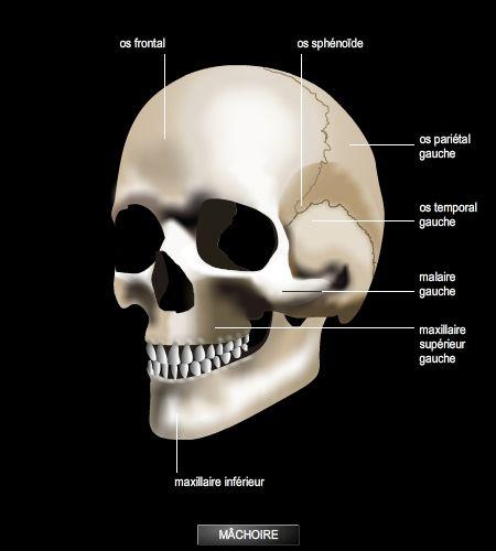 crâne anatomie humaine