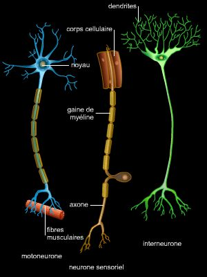Encyclop die larousse en ligne neurone for Influx nerveux
