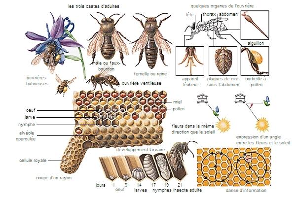 Chasse à l'abeille dans ABEILLES 1000728-Abeille