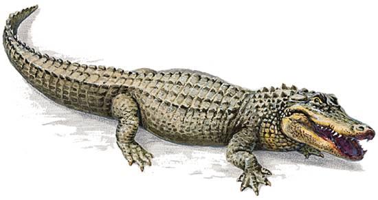 Encyclop die larousse en ligne alligator mot anglais de - Image crocodile dessin ...