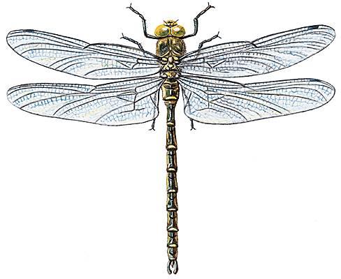 Encyclop die larousse en ligne libellule - Libellule dessin ...