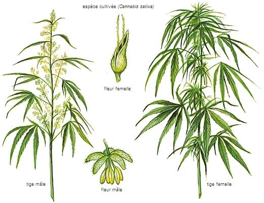 Encyclopedie Larousse En Ligne Cannabis