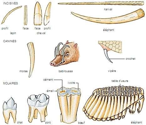 Dents d'espèces animales