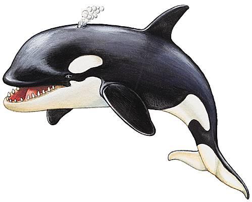 Encyclop die larousse en ligne dauphin - Dessin d orque ...