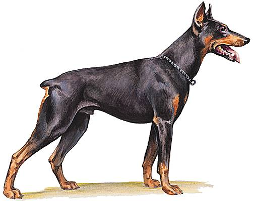 Grognement de doberman