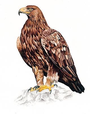 Dessin D Aigle Royal encyclopédie larousse en ligne - aigle royal