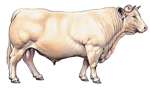 Encyclop die larousse en ligne bovin - Vache normande dessin ...