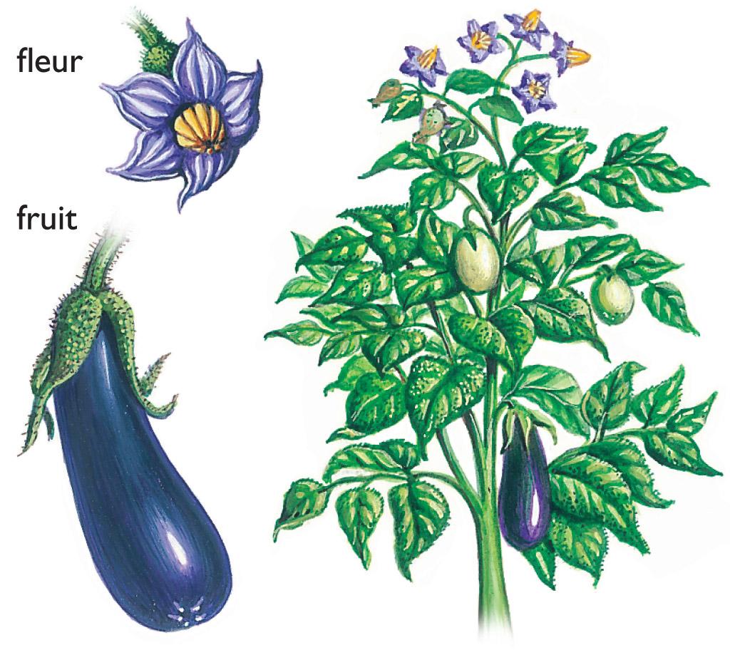 Aubergine Dessin encyclopédie larousse en ligne - aubergine