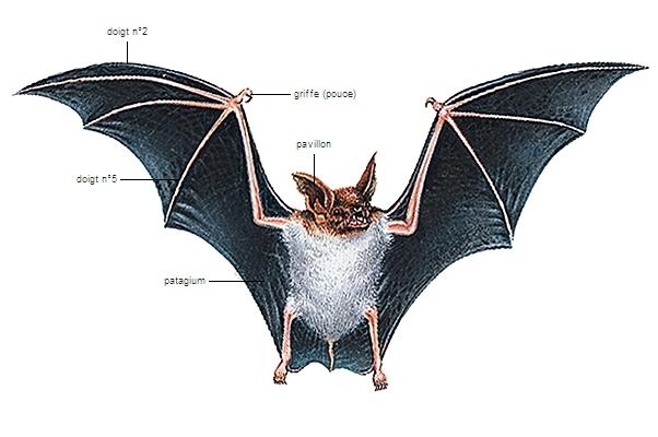 Encyclop die larousse en ligne chauve souris - Image de chauve souris ...