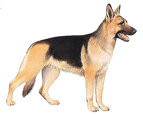 Encyclop die larousse en ligne races de chien - Berger allemand gratuit ...