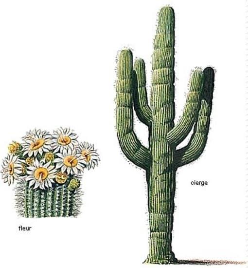 encyclopédie larousse en ligne - cactus cierge