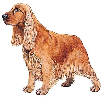 Encyclop die larousse en ligne races de chien - Dessin de cocker ...