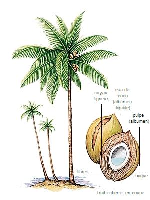 Encyclop die larousse en ligne palmier de palme - Racine d un palmier ...