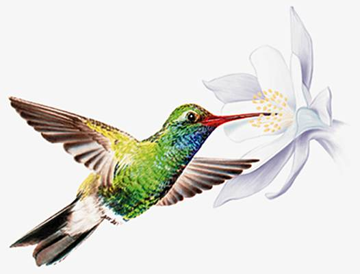 http://www.larousse.fr/encyclopedie/data/images/1000990-Colibri.jpg