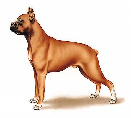 Encyclop die larousse en ligne races de chien - Boxer chien dessin ...