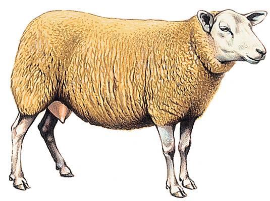 Encyclop die larousse en ligne brebis - Brebis dessin ...