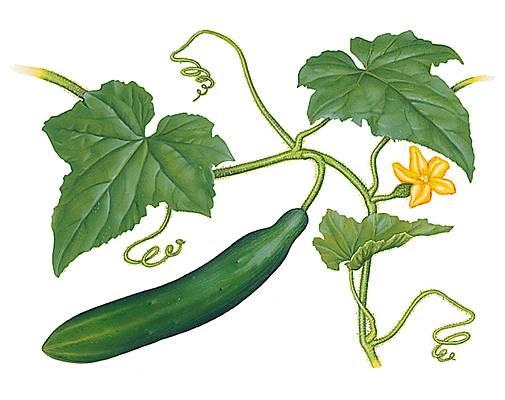 Encyclop die larousse en ligne concombre for Site de plante en ligne