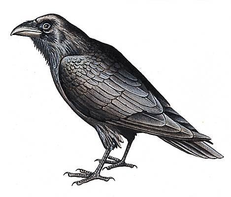 Encyclop die larousse en ligne corbeau - Coloriage corbeau ...