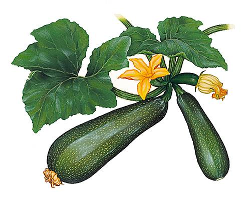 1001031-Courgette.jpg
