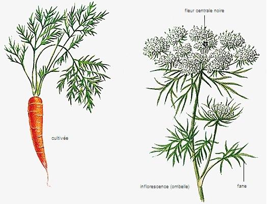 Encyclop die larousse en ligne l gume latin legumen inis - Dessin de carotte ...