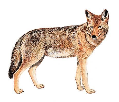 Encyclop die larousse en ligne coyote - Dessin de coyote ...