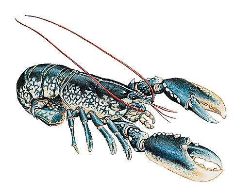 Encyclopédie Larousse en ligne - homard cb5fe6b184e