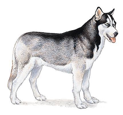 Encyclop die larousse en ligne chien d 39 utilit - Dessin d un chien ...