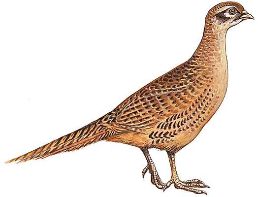 Encyclop die larousse en ligne faisan latin phasianus du for Oiseau commun