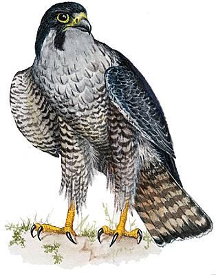 Encyclop die larousse en ligne faucon - Dessin de faucon ...