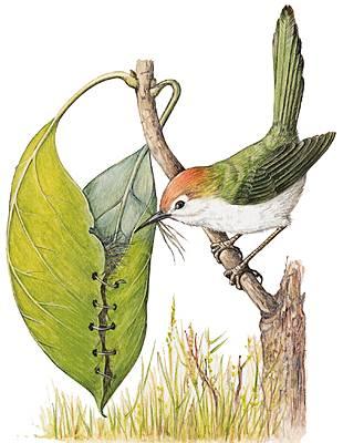 Encyclop die larousse en ligne fauvette de fauve - Chant fauvette des jardins ...