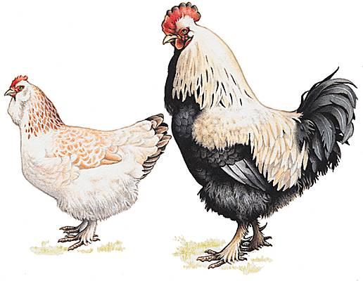 Encyclop die larousse en ligne coq onomatop e du bas - Image de poule ...