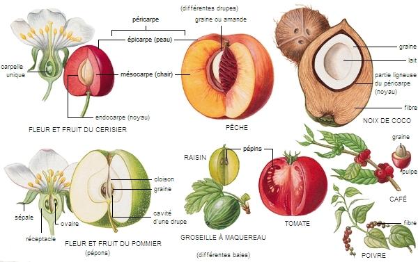 encyclop die larousse en ligne fruit latin fructus. Black Bedroom Furniture Sets. Home Design Ideas