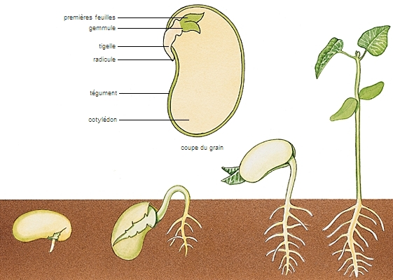 Encyclop die larousse en ligne graine latin grana pluriel de granum grain - Combien de graines de nigelle par jour ...