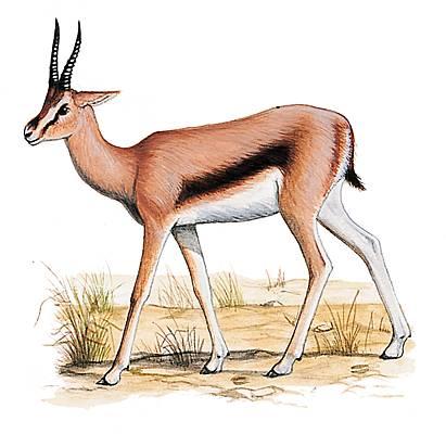 Encyclop die larousse en ligne gazelle - Gazelle dessin ...