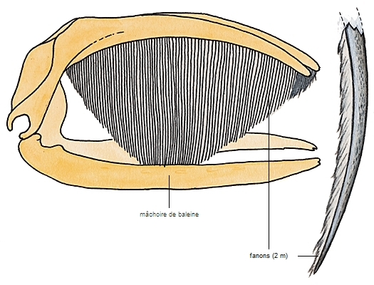 Quelle est la taille des baleines pénis