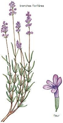 lavandin lavendel unterschied