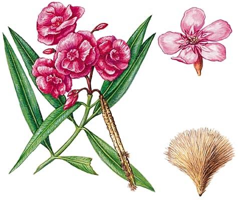 Encyclop die larousse en ligne laurier rose - Laurier fleur en pot ...