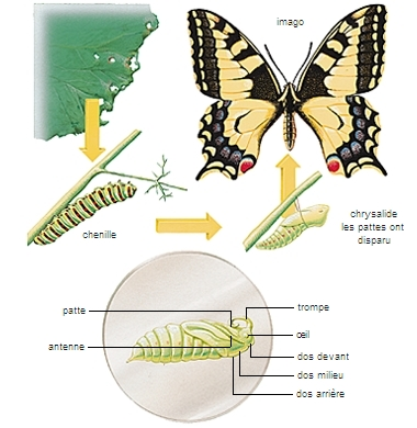 Métamorphose du machaon