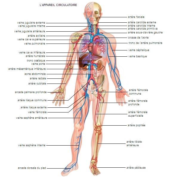 Schema artere veine