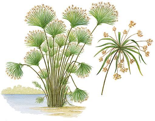Encyclopédie Larousse En Ligne Papyrus Latin Papyrus Du