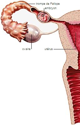 Encyclop die larousse en ligne grossesse extra ut rine - Fausse couche grossesse extra uterine ...