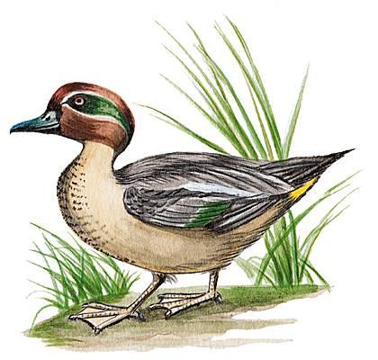 Encyclop die larousse en ligne canard de l 39 ancien for Couleur du canard