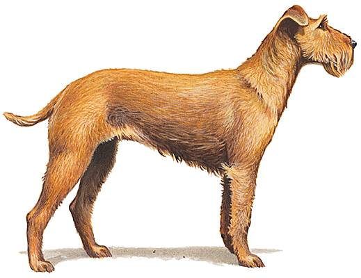 Irish-terrier