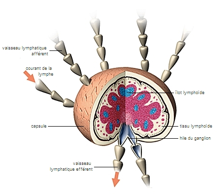 Structure d'un ganglion lymphatique