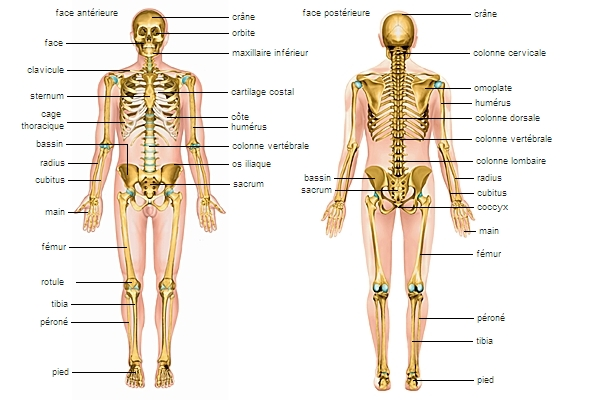 Encyclopedie Larousse En Ligne Squelette Grec Skeleton De Skeletos Desseche