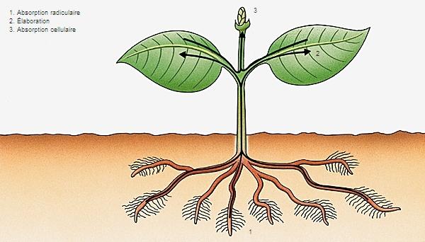 Encyclop die larousse en ligne v g tal for Vente en ligne vegetaux