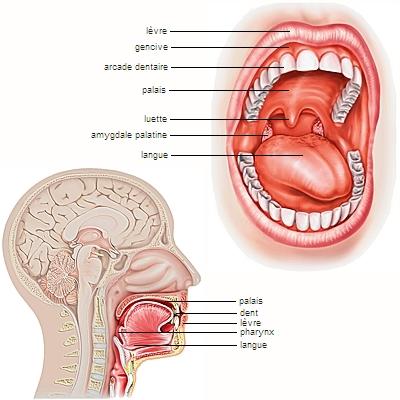 Encyclop die larousse en ligne nerf cr nien for Interieur de la bouche