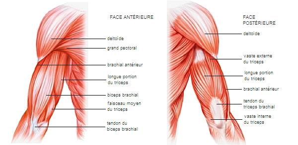 Encyclopédie Larousse en ligne - Muscles et tendons du bras 3e9736f3ed0