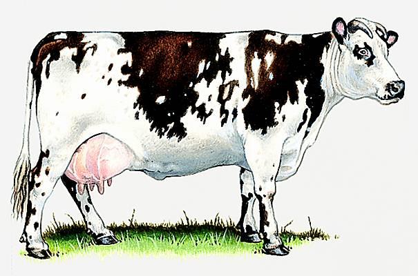 Encyclop die larousse en ligne vache latin vacca - Vache normande dessin ...